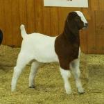 FNHR Klondike at his first show....